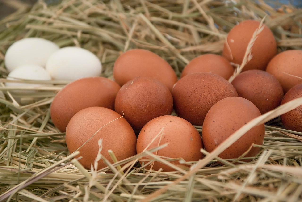cuando ponen huevos las gallinas