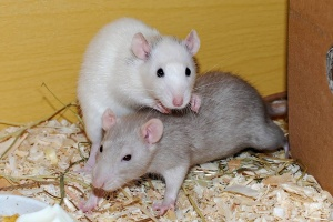 ▷ Ahuyentadores de ratas recomendados por EXPERTOS
